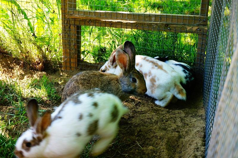 カナダ ウサギ